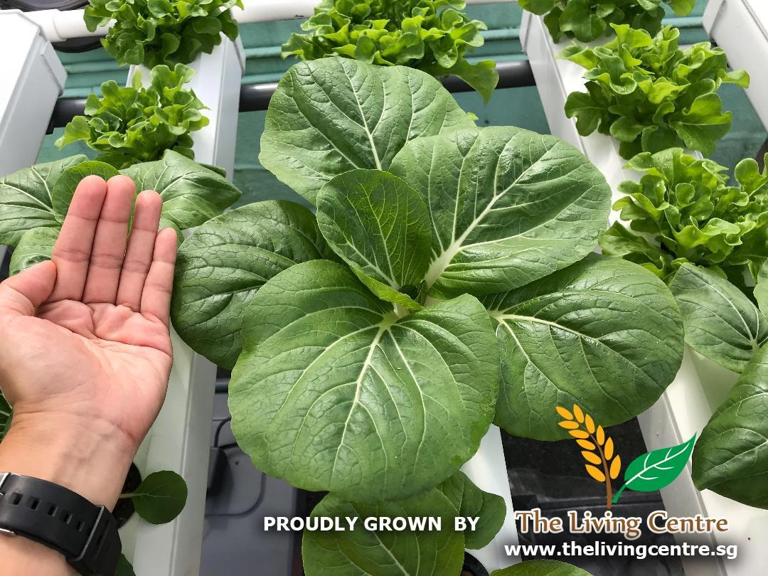 Black Leaf Pak Choi Roof The Living Centre