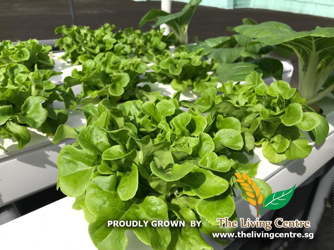 Lettuce TLC Roof The Living Centre