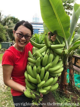 Banana Plant   Grown by The Living Centre