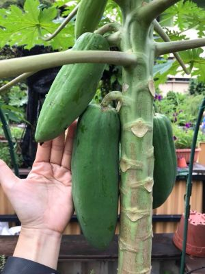 Papaya Grown By The Living Centre