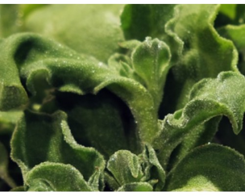 Ice Plant Vegetable Seed