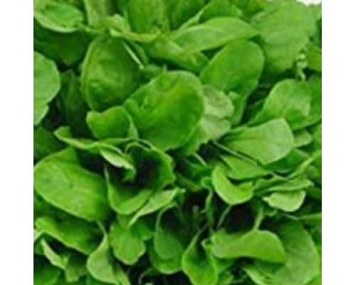 Rocket Salad Lettuce Seeds