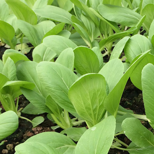 Xiao Bai Cai Seeds